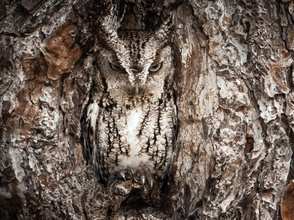 Mențiune - Portrait of an Eastern Screech Owl de Graham McGeorge